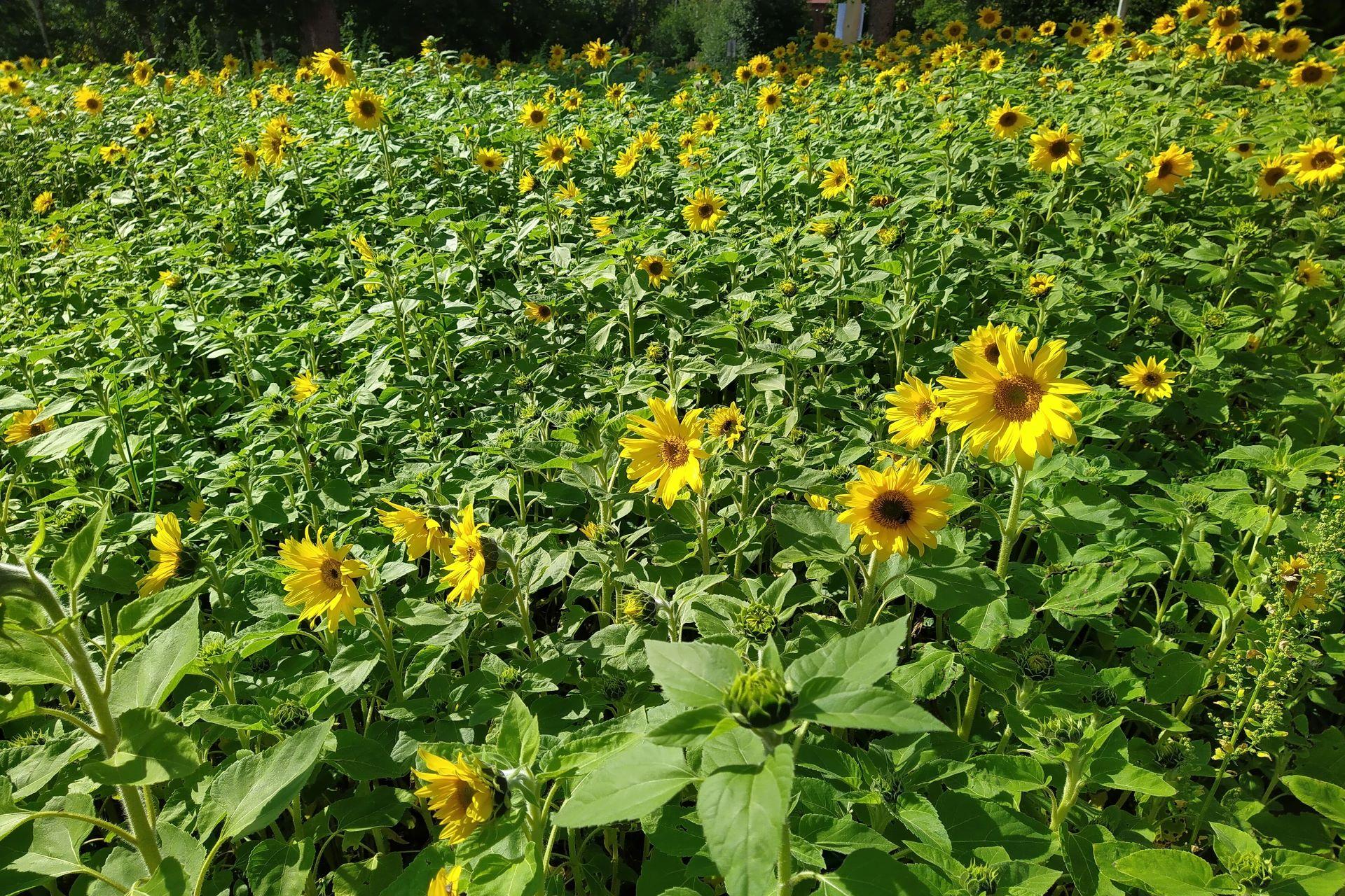 Auringonkukkia sinulle, ole hyvä!